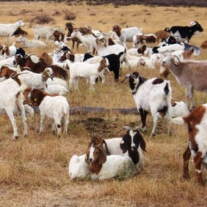 Google chèvres